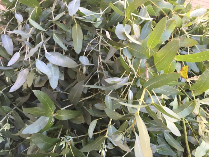 Egen eukalyptuskvist till jul?
