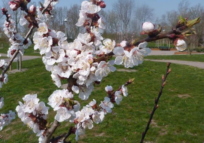 Körsbärsblom på Drottninghög